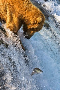 800px-Grizzly_Bear_Fishing_Brooks_Falls